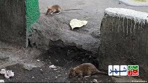 افزایش موش ها در تهران در سایه بی توجهی شهرداری تهران
