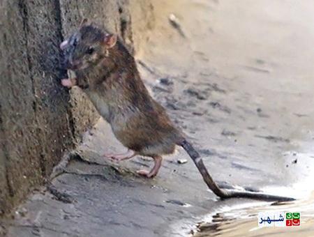 شناسایی بیش از 3500 منفذ فعال موش در جنوب پایتخت